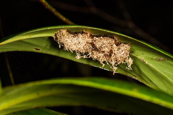 (Formicidae). Colibri trail, Shiripuno, Orellana Ecuador