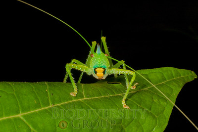 Katydids, Crickets, and Grasshoppers (Orthoptera)