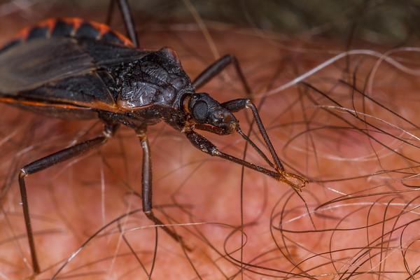 kissing bug antennae cleaning, Triatoma rubida (Reduviida