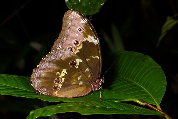 blue morpho,  Morpho menelaus (Nymphalidae). Bates Trail, Shiripuno, Orellana Ecuador