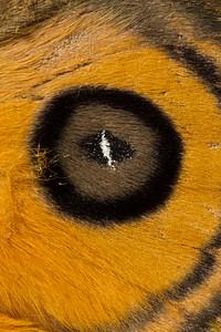 black-mantled goldeneye eye spot, Automeris amanda (Saturniidae). Yanayacu, Cosanga, Napo Ecuador
