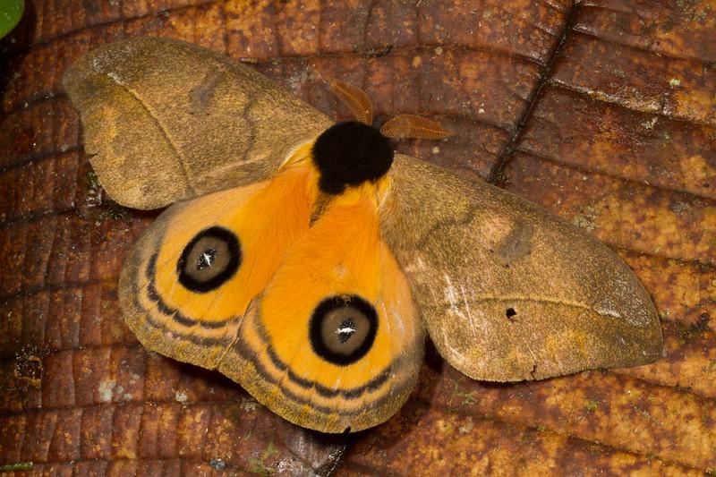black-mantled goldeneye, Automeris amanda (Saturniidae). Yanayacu, Cosanga, Napo Ecuador