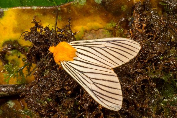 black-veined white, Pachydota sp. (Arctiidae). Yanayacu, Cosanga, Napo Ecuador