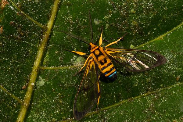sapphire-tailed clearwing, Loxophlebia nomia (Arctiidae). Yanayacu, Cosanga, Napo Ecuador