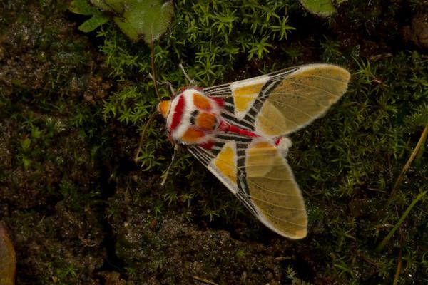 tiger moth with clown face, Idalus herois (Arctiidae). Yanayacu, Cosanga, Napo Ecuador