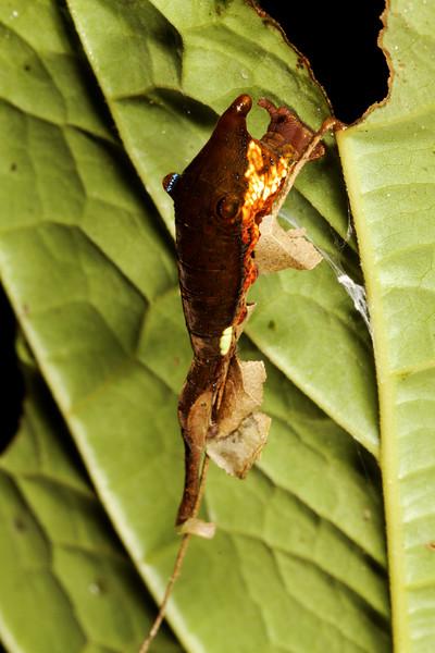 5th instar caterpillar, Perpona sp. or Archaeopona sp. (Nymphalidae). Mindo, Pichincha Ecuador