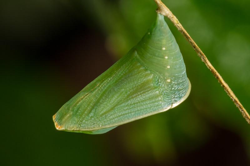 chrysalis, Steroma bega (Saturniidae). Yanayacu San Isidro Stream Trail, Cosanga, Napo Ecuador