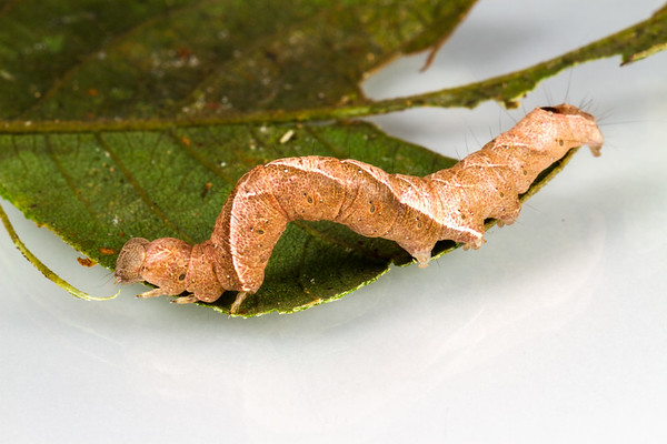 Found on Inga sp. Shiripuno, Orellana Ecuador