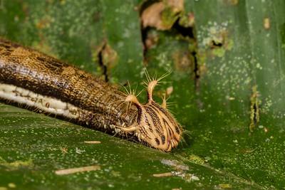Caligo sp. (Nymphalidae). Bates Trail, Shiripuno, Orellana Ecuador