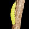 dark marathyssa, <i>Marathyssa inflicita</i> (Noctuidae). Kelsey Creek, Croft S.P., Spartanburg, South Carolina USA