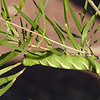 tobacco hornworm, <i>Manduca sexta</i> (Sphingidae) on desert willow. Tucson, Arizona USA