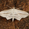 <i>Pigia multilineata</i> (Geometridae). Peppersauce Canyon, Pinal Co. Arizona USA