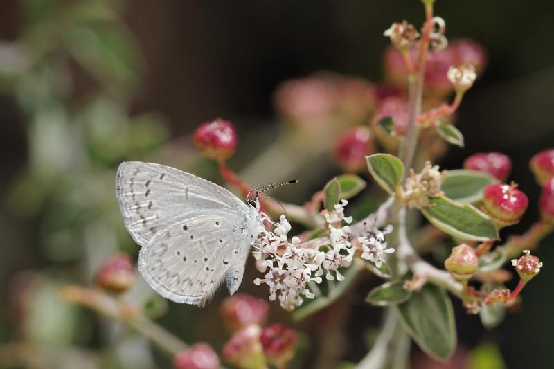 Celastrina sp. (Lycaenidae). Mt. Lemon, Tucson, Arizona USA