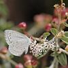<i>Celastrina</i> sp. (Lycaenidae). Mt. Lemon, Tucson, Arizona USA