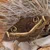 cream-striped owl, <i>Cyligramma latona</i> (Noctuidae). Erongo Namibia