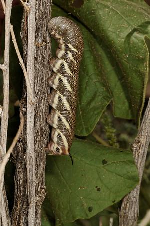 tomato hornworm five-spotted hawkmoth, Manduca quinquemaculata (Sphingidae). Santa Rita Experimental Range, Pima Co., Arizona USA