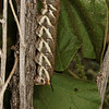 tomato hornworm five-spotted hawkmoth, <i>Manduca quinquemaculata</i> (Sphingidae). Santa Rita Experimental Range, Pima Co., Arizona USA
