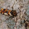 <i>Spragueia</i> sp. (Noctuidae). Spartanburg, South Carolina USA