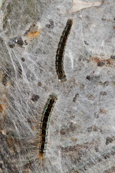 western tent caterpillar, <i>Malacosoma californicum</i> (Lasiocampidae). Marshall Gulch, Mt. Lemon, Arizona USA