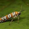 Ailanthus webworm moth, <i>Atteva punctella</i> (Yponomeutidae). Spartanburg, South Carolina USA