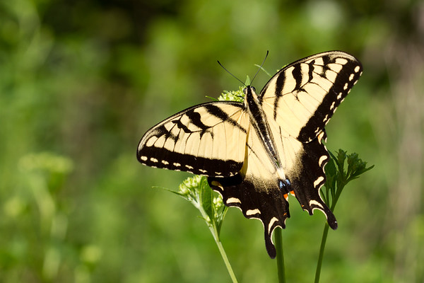 Eastern tiger swallowtail, Papilio glaucus (Papilionidae). Croft State Park, Palmetto Trail along Kelsey Creek, Spartanburg, South Carolina USA