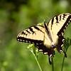 Eastern tiger swallowtail, <i>Papilio glaucus</i> (Papilionidae). Croft State Park, Palmetto Trail along Kelsey Creek, Spartanburg, South Carolina USA