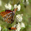 fritillary (Nymphalidae). Sycamore Canyon, Pajarita Mtns, Santa Cruz Co., Arizona USA