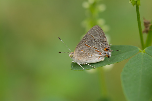 gray hairstreak, Strymon sp. (Lycaenidae). San Pedro River, south of bridge at Charleston, Cochise Co., Arizona USA