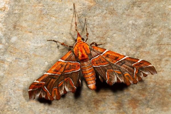 the magician, Monarcha magicaria (Geometridae). Yanayacu, Cosanga, Napo Ecuador