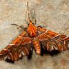 the magician, <i>Monarcha magicaria</i> (Geometridae). Yanayacu, Cosanga, Napo Ecuador