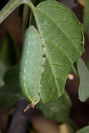 hackberry emperor, Asterocampa celtis (Nymphalidae). Tucson, Pima Co., Arizona USA