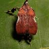 boxwood leaftier, <i>Galasa nigrinodis</i> (Noctuidae). Spartanburg, South Carolina USA