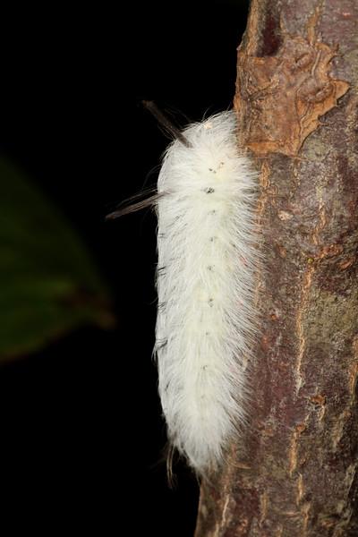 spotted apatelodes, Apatelodes torrefacta (Bombycidae). Anderson Mill, North Tyger River, Spartanburg, South Carolina USA