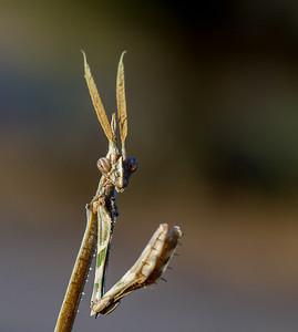 cone-headed mantid, Empusa guttula (Empusidae). Gobabeb, Erongo Namibia