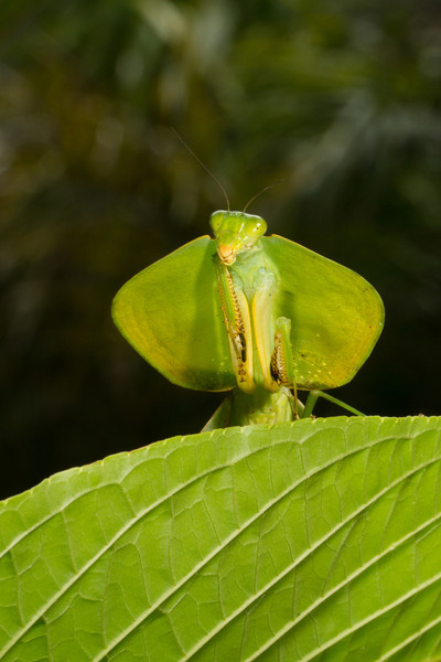 Stal's hooded mantis, Choeradodis stalii (Mantidae). Mindo Bonito, Mindo, Pichincha Ecuador