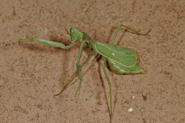 female praying mantis, Stagmomantis sp. (Mantidae). Tucson, Pima Co., Arizona USA
