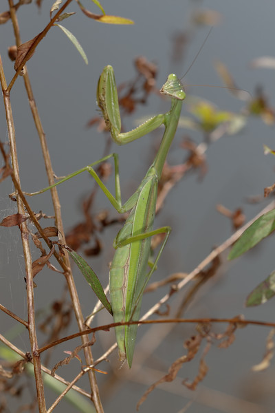 Chinese mantis, Tenodera aridifolia sinensis (Mantidae). Spartanburg, South Carolina USA