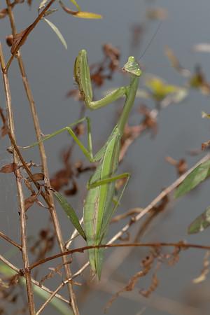 Chinese mantis, Tenodera aridifolia sinensis (Mantidae). Spartanburg, South Carolina USA