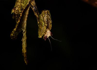 dead leaf mimicing mantid (Mantidae). Bates trail. Shiripuno, Orellana Ecuador