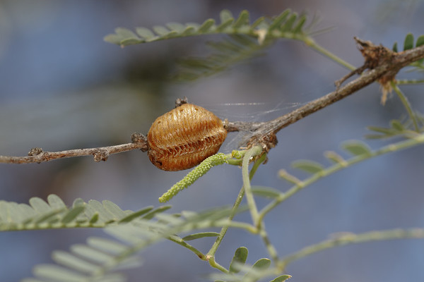 praying mantis egg case (ootheca) (Mantidae). Tucson, Arizona USA