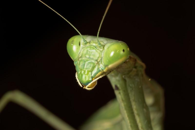 female praying mantis, Stagmomantis sp. (Mantidae). Tucson, Pima Co., Arizona USA