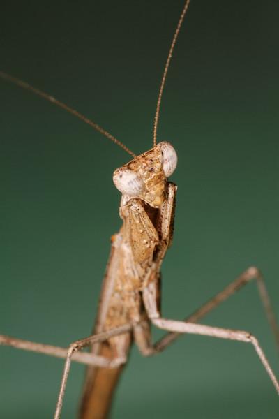 praying mantis (Mantidae). Tucson, Arizona USA