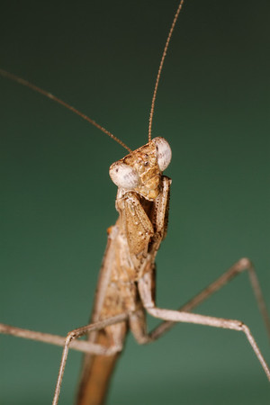 praying mantis (Mantidae). Tucson, Arizona USA