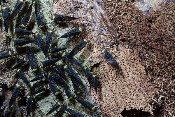 bark lice (Psocoptera). Jatun Sacha Estacion Biologica, Napo Ecuador