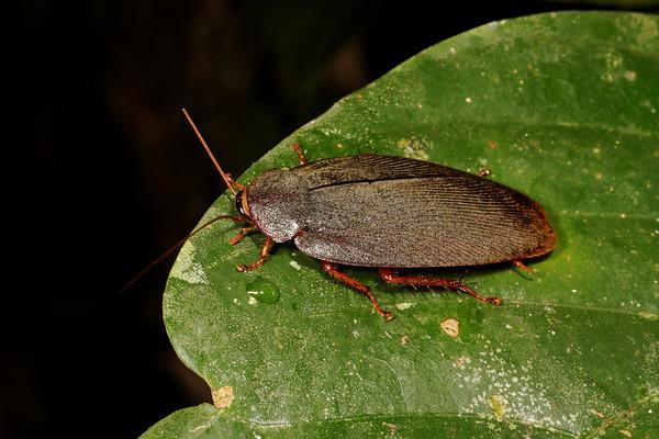 forest roach, <i>Epilampra</i> sp. (Blaberidae). Gareno Amazon, Napo Ecuador