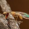 mantidfly, <i>Dicromantispa</i> sp. (Mantispidae). Peppersauce Canyon, Pinal Co. , Arizona USA