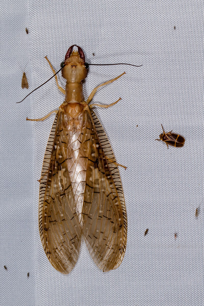 dobsonfly (Corydalidae). blacklight. Shiripuno, Orellana Ecuador