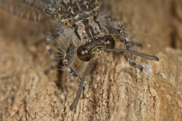 antlion, Myrmeleon sp. (Myrmeleontidae). Tucson, Arizona