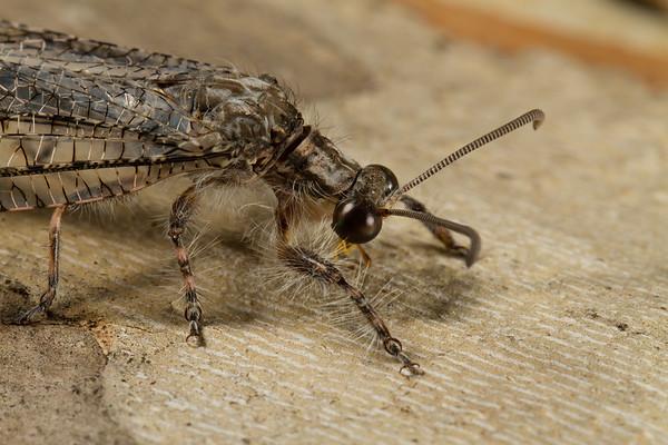 antlion, Vella fallax (Myrmeleontidae). Peppersauce Canyon, Pinal Co., Arizona USA