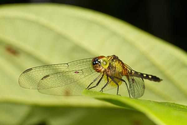 dragonfly (Anisoptera). Gareno Amazon, Napo Ecuador